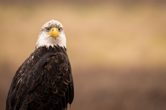 Skagit-Eagle-2-2